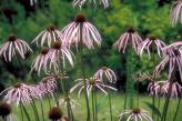Photograph of smooth purple coneflowers.