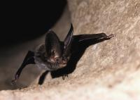 Close-up of a Rafinesque's big-eared bat.
