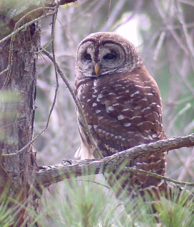 Photograph of a barred owl.