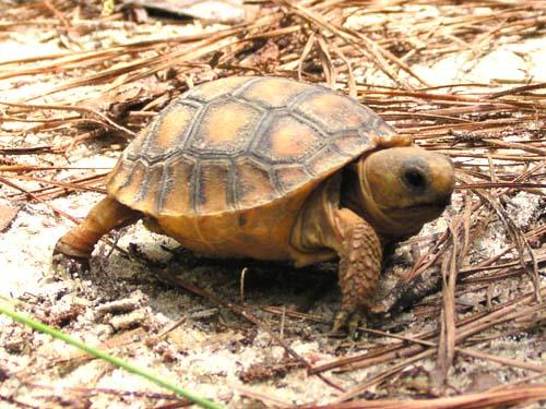 Photo of a young gopher tortoise.