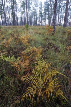 Photo of longleaf pine habitat at Silver Lake tract.