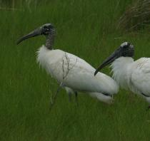 Photo of two wood storks.