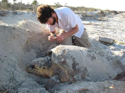 Photo of intern collecting sea turtle biopsy sample.