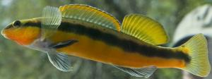 Photo of an oliver darter.