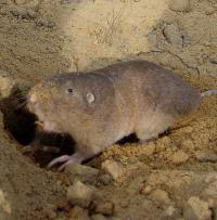 Photograph of a pocket gopher.