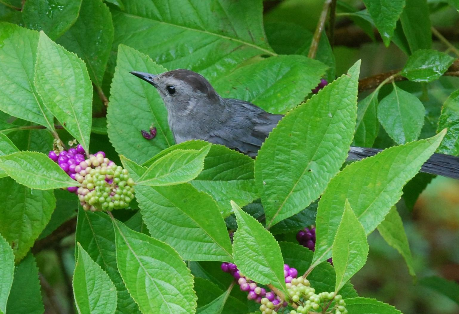 Photo of catbird  eating beautyberry.