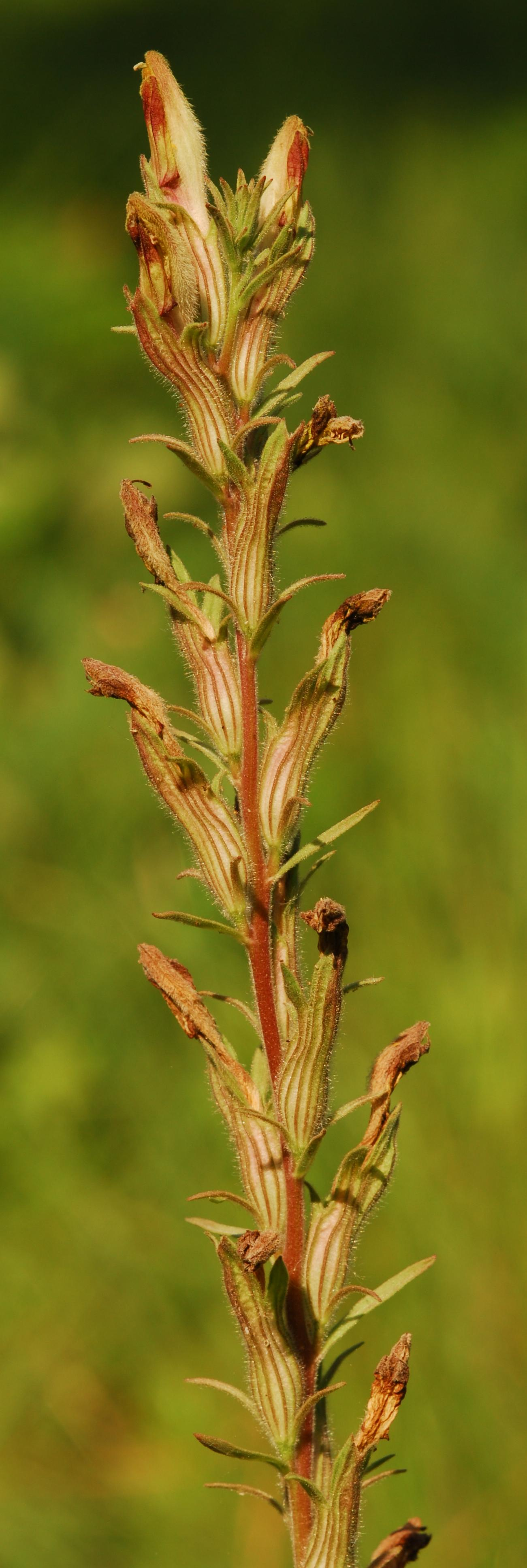 photo of American chaffseed