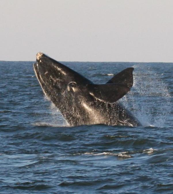 Photo of right whale breaching.