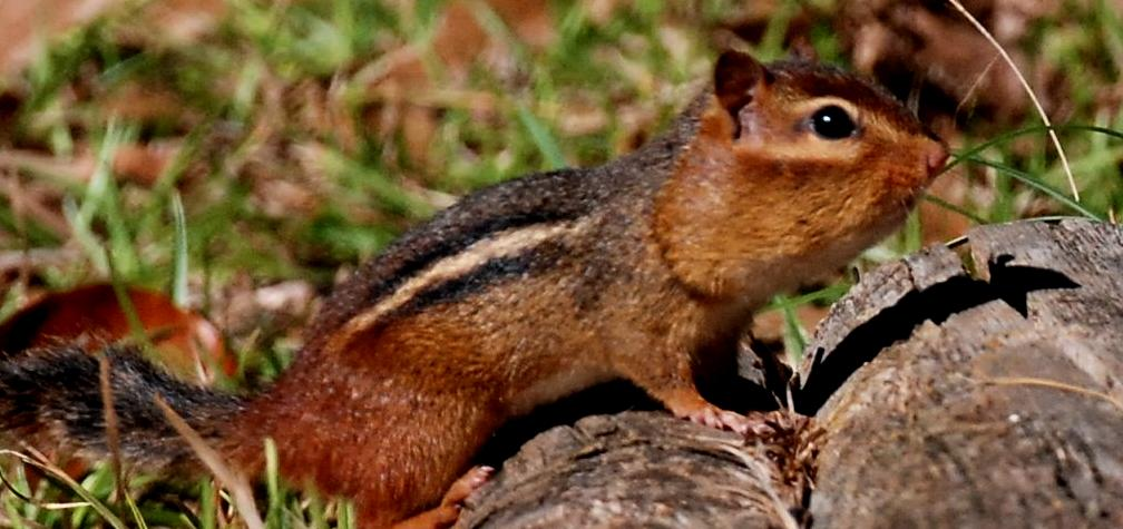 Photo of eastern chipmunk.