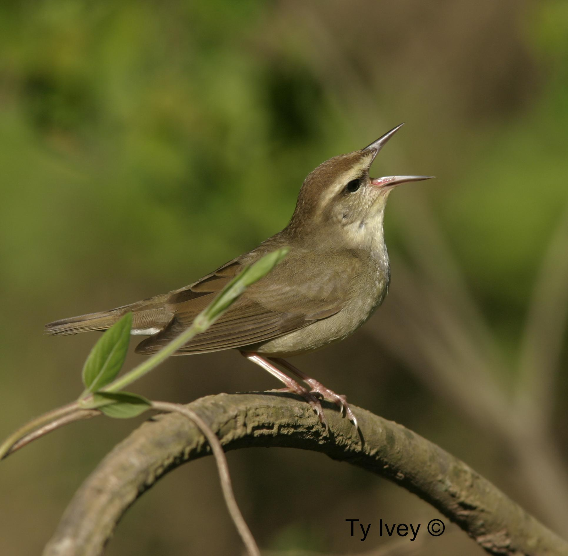Photo of a Swainson's warbler.