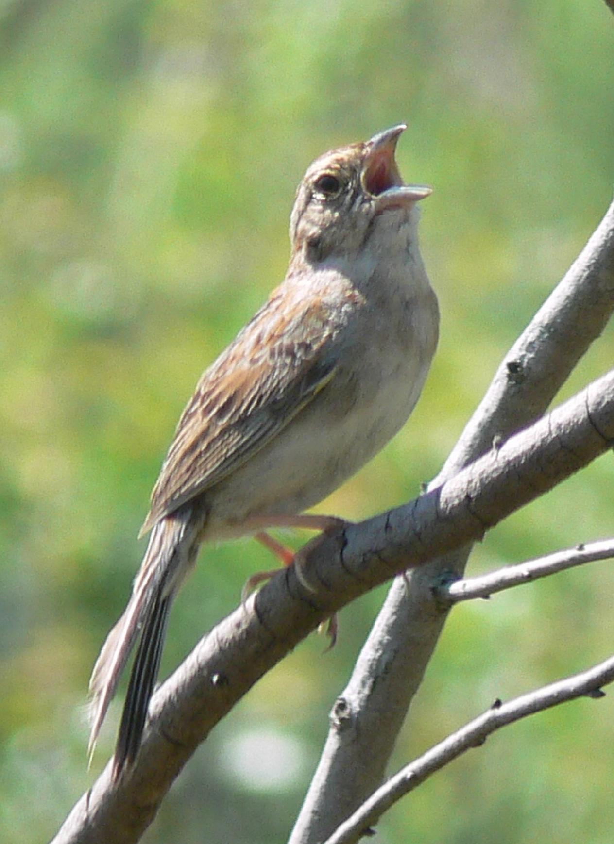 Photo of a Bachman's sparrow.