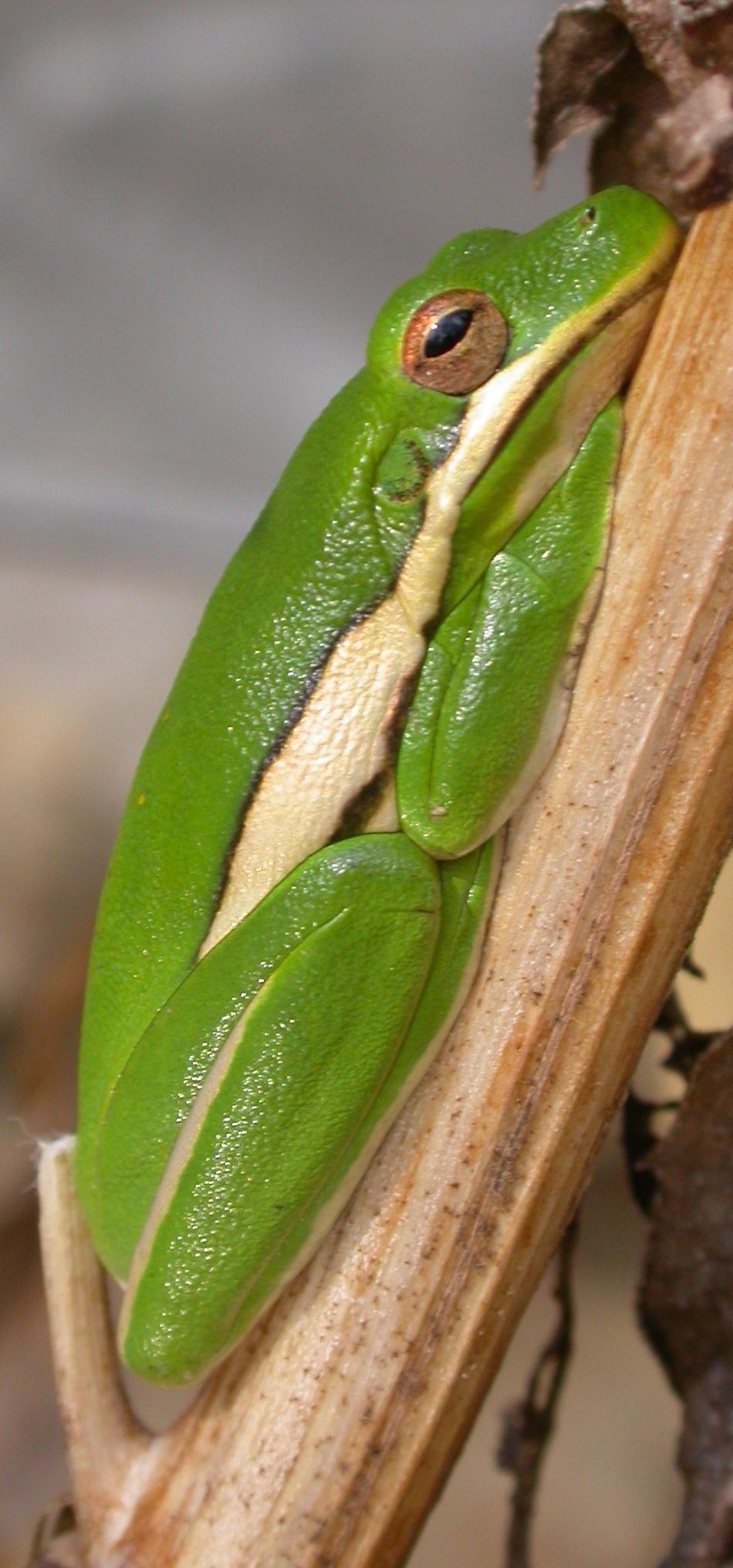 Green treefrog.