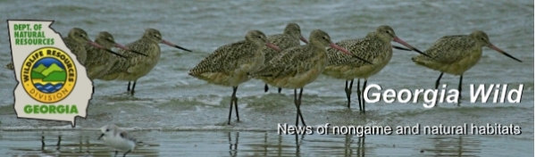 Ga. DNR e-news; photo of marbled godwits