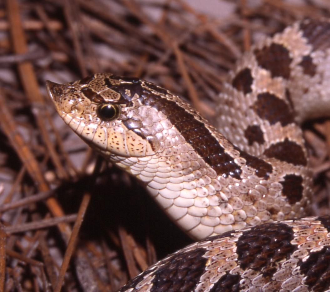 Southern hognose snake.
