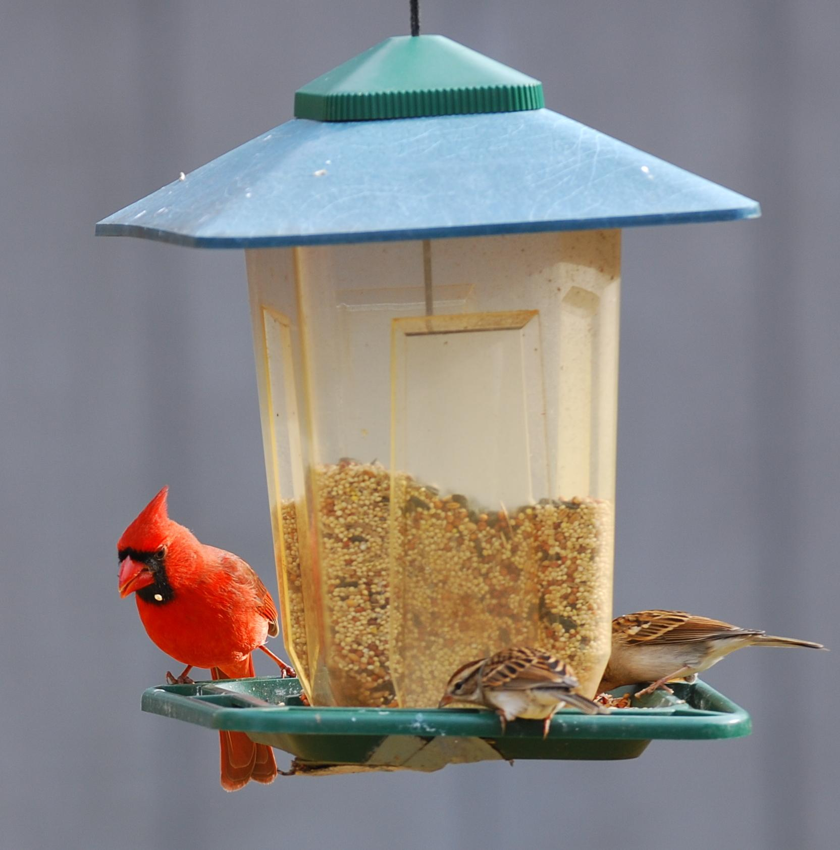 Cardinals and chipping sparrows at feeder.