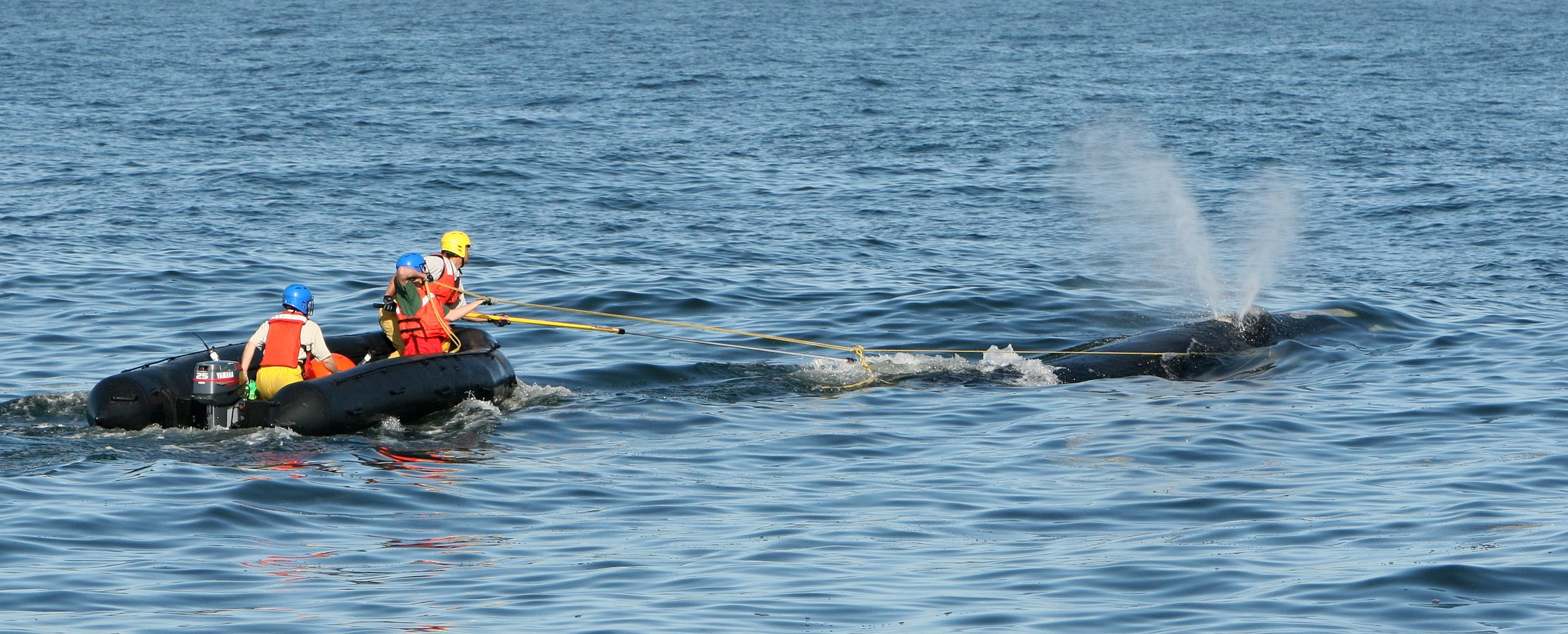 Photo of crew disentangling a juvenile right whale.