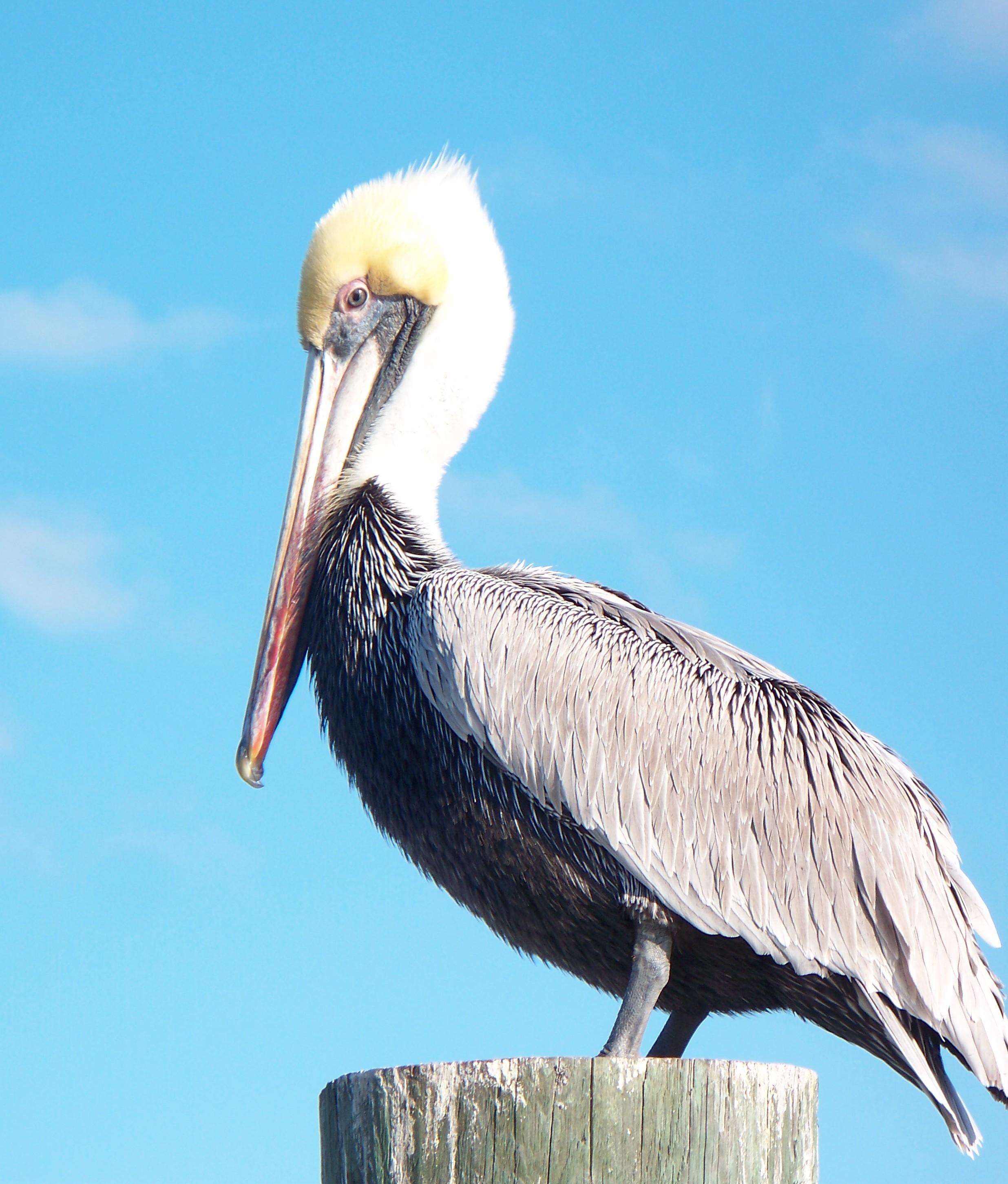 photo of brown pelican