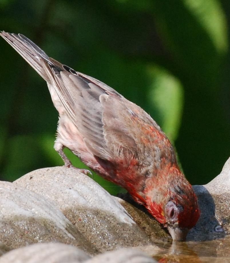 photo of finch with finch disease