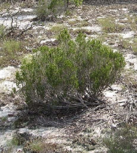 photo of sandhill rosemary