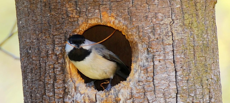 chickadee in log nest photo