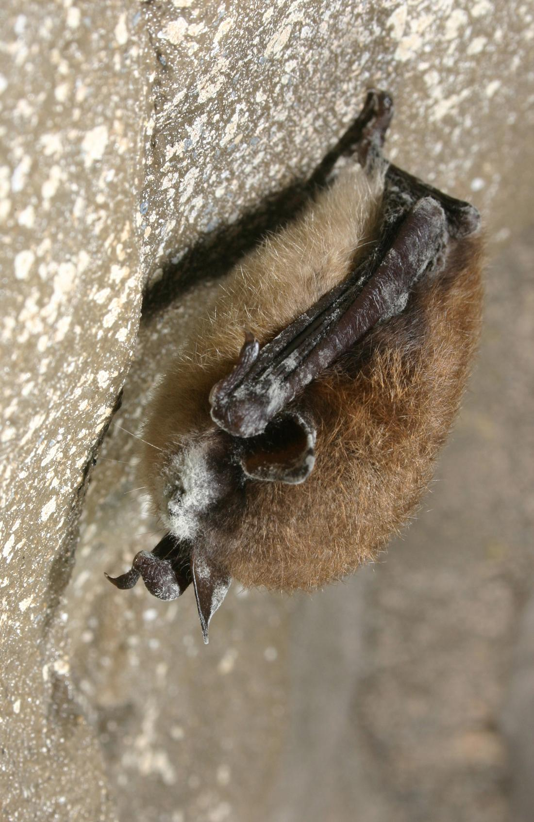 bat with WNS photo